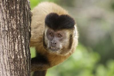 macaco-prego_sapajus_libidinosus