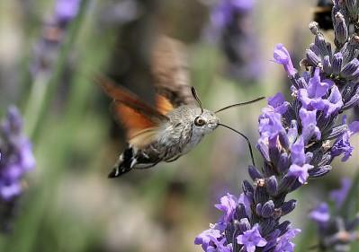 mariposa beija-flor